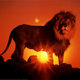 1180 lion at sunset posters